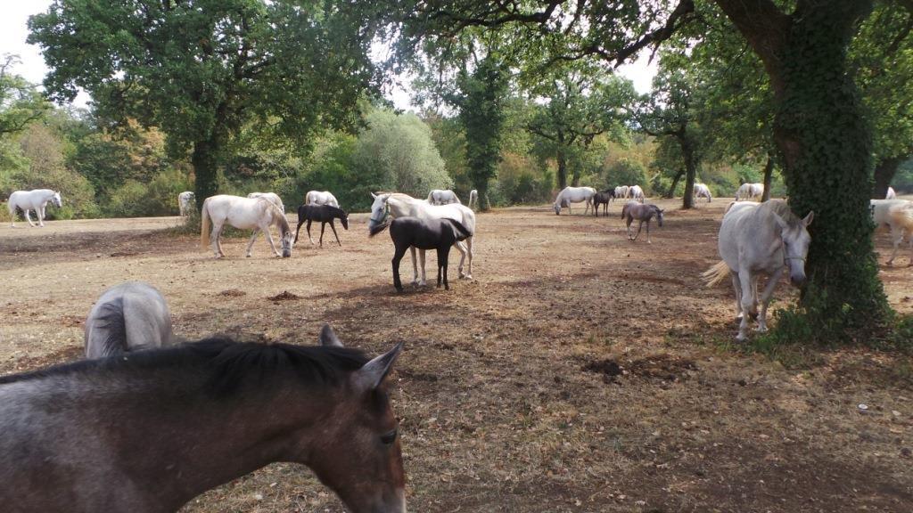 סוסים בליפיצה