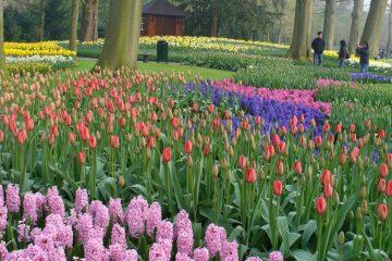 צבעונים בהולנד – גני קוקנהוף במלוא הדרם